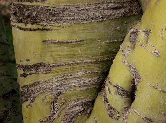 palo verde trunk
