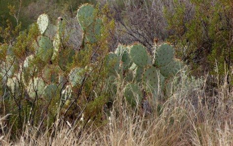 prickly pear cactus and creosote and dried winter grasses
