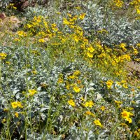 Sonora Desert wildflowers