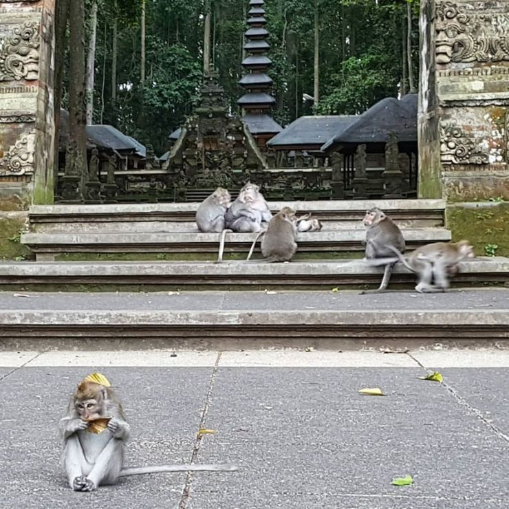 monkeys in sangeh