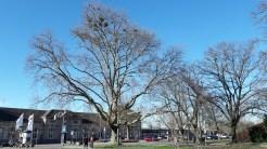 Bäume mit Krähennestern