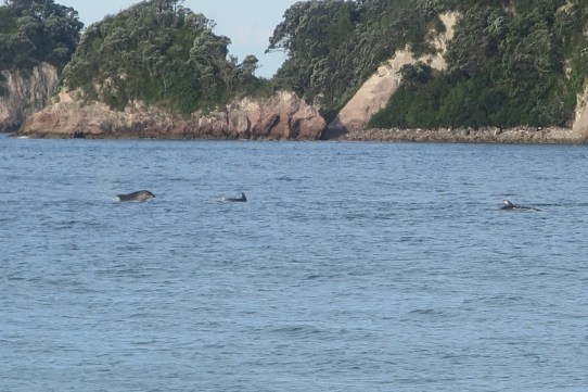 Dolfins at Hahei Beach