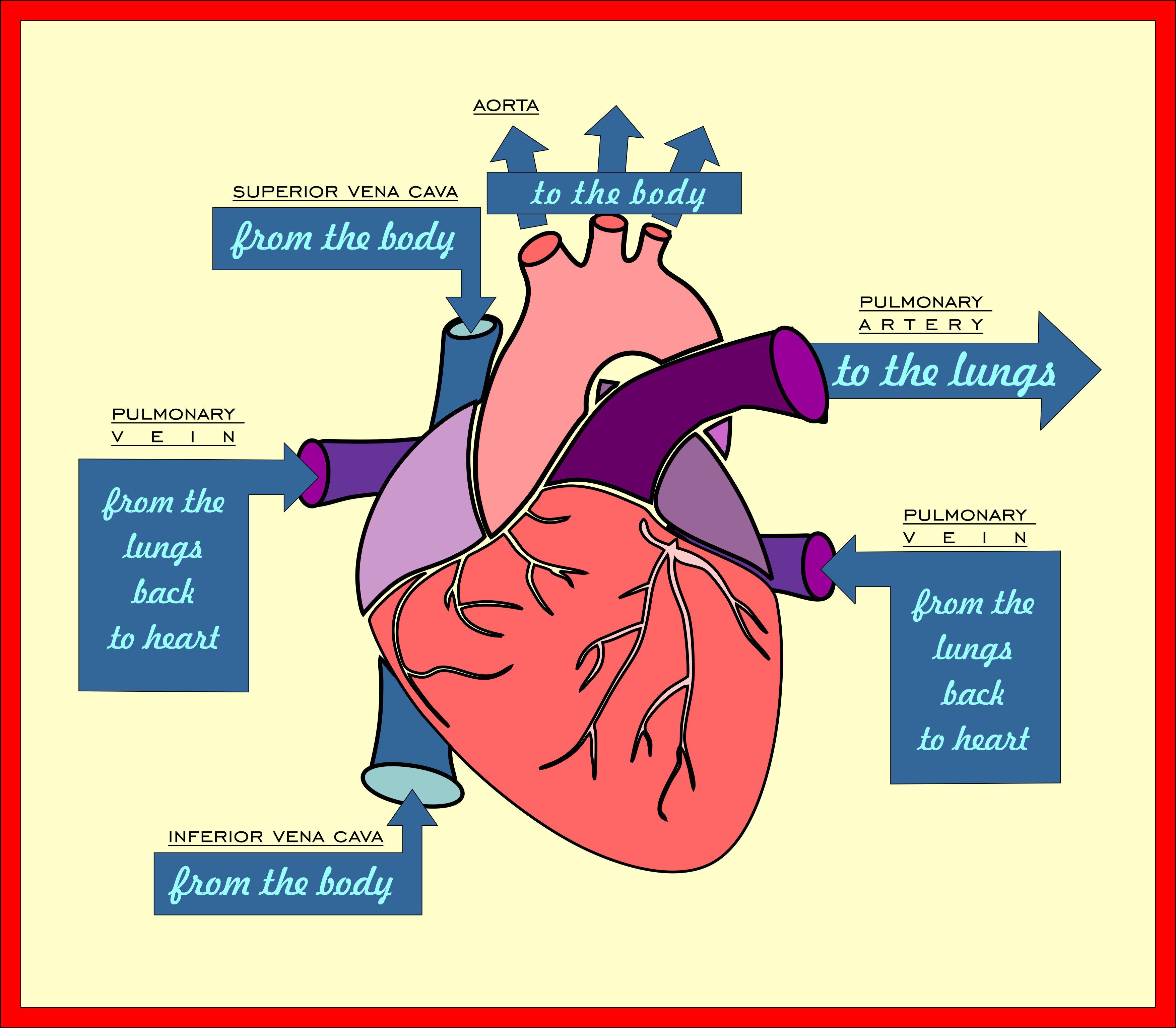 Blood Flow Through The Heart See Nurse Write
