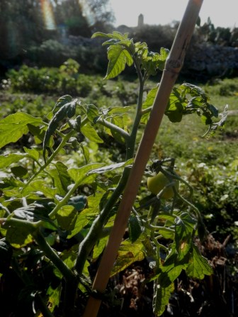 Straw Bale Tomatoes and distant windmill2