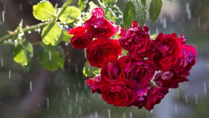 red roses in rain