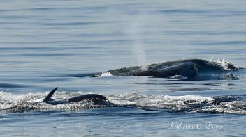 Two whales surfacing together. Tina Ciarametaro