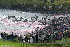 Delfine Färöer