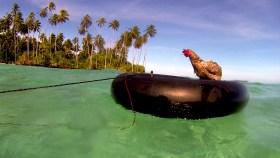 Fahnenflucht nach Landgang: Die Hühner wollten nicht mehr an Bord zurück © nomade des mers