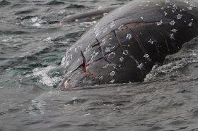 Wahrscheinlich von Schiffsschrauben verletzter Wal © greenpeace