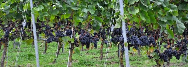 Premierte Weintrauben auf Aarö © Maike Christiansen
