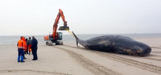 Ein Bagger zieht auf demStrand vonWangerooge einen verendeten Pottwal Richtung Meer. © Greenpeace