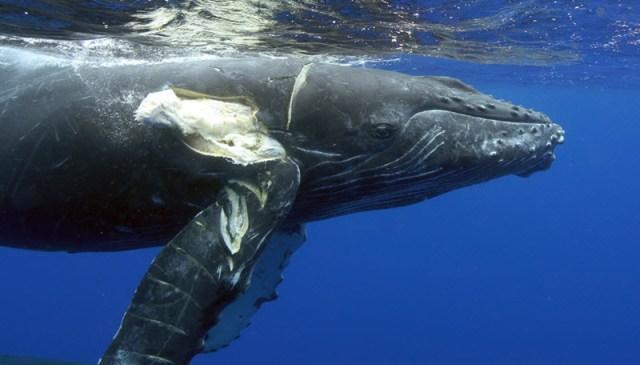 Verletzter Wal nach einer Schiffskollision. © Ed Lyman