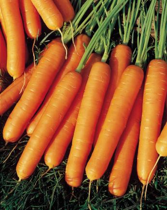 Klasifikasi Wortel : klasifikasi, wortel, Wortel, Segersayur