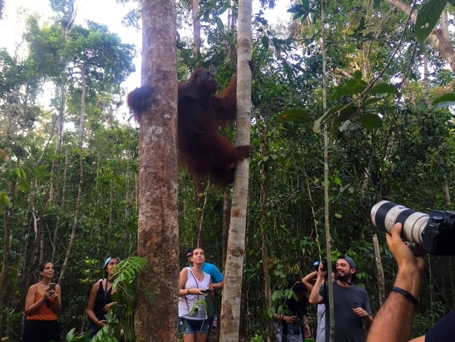 Borneo_orangutango