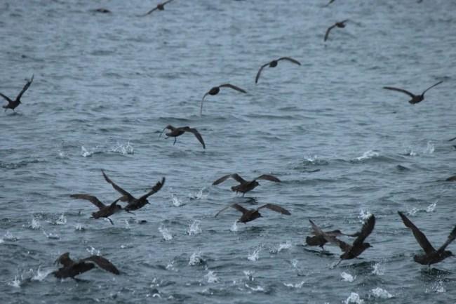 Biguás nas águas de Ushuaia