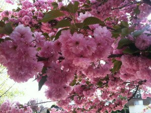 Cherry blossoms, captured by my iPhone