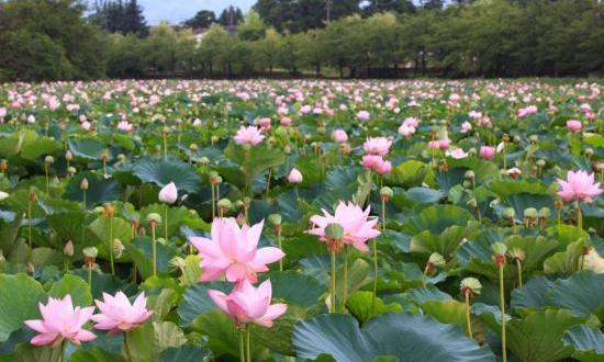 Khasiat Bunga Teratai, Dikenal sebagai Obat sejak Ribuan Tahun Lalu