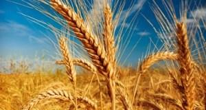 barley in hindi