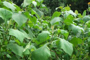 Obat Herbal Diabetes dari Daun Yakon