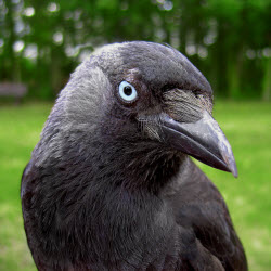picture of raven with a blue eye