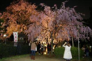 Kirschblüte im Uenopark