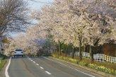 Tsunagi Onsen - Kirschblüte
