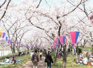堺市鴨谷公園の桜