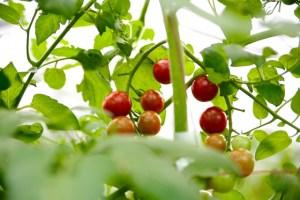 ベランダ菜園の真っ赤なプチトマト