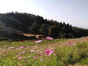 下赤坂の棚田とコスモス