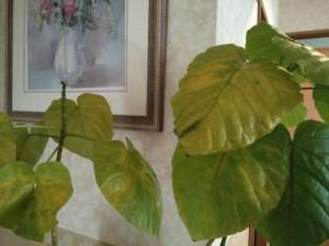 葉が黄色く変色するウンベラータ