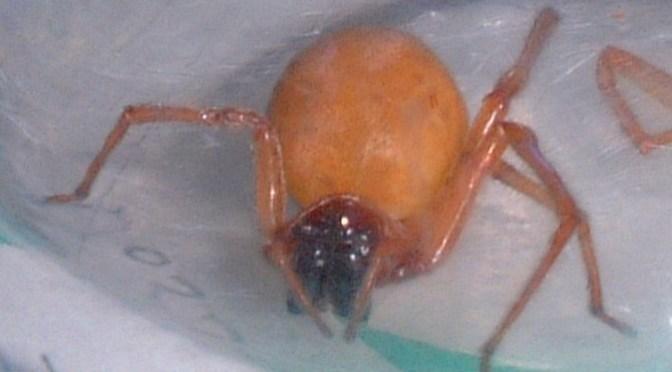 今の時期になるブログ記事ベスト10に入る「日本の緑色の毒グモ」の記事