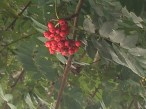 red berries september 18