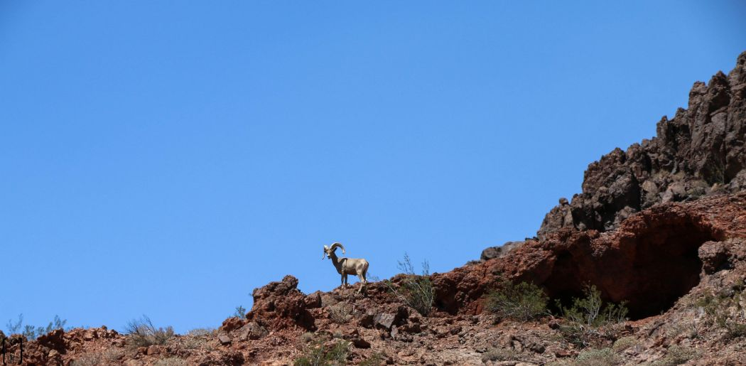 3 Steinbock Lake Mead