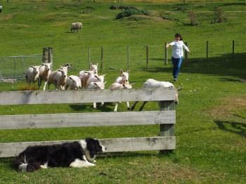 Akari chasing sheep