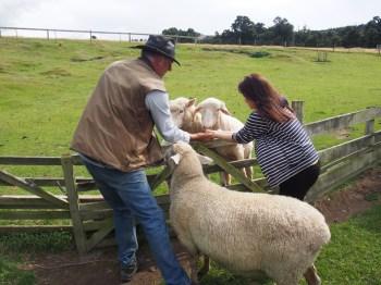 Feeding the sheep