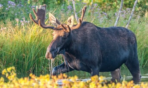 カナダ、動物、ムース
