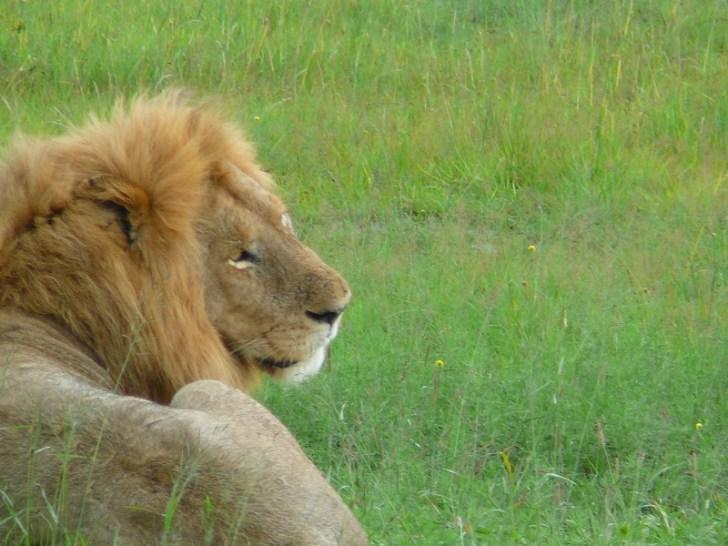 たてがみを風になびかせて堂々と座っているオスライオン