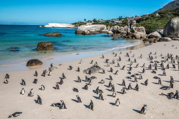 ボルダーズビーチのケープペンギン達。アフリカでペンギン? でもここは南極に近いのだから海の水もとても冷たい