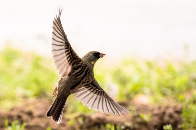 アオジの生態!鳴き声や幼鳥の特徴等5つのポイント!