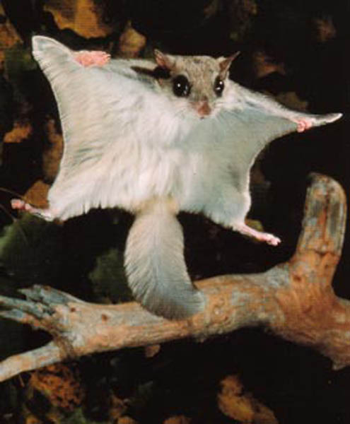Chawhmeh : Flying Squirrel  (1/2)