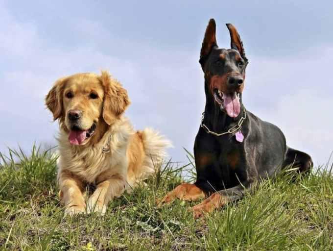 Contoh Teks Deskripsi Singkat Anjing