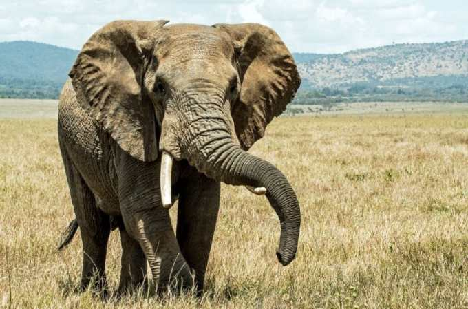 Hasil Observasi Gajah
