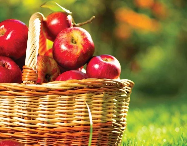 Organic Apples in a Basket outdoor. Orchard. Autumn Garden. Harv