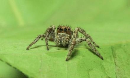 Giftige spinnen die voor pijnlijke erectie zorgen, verborgen tussen bananen