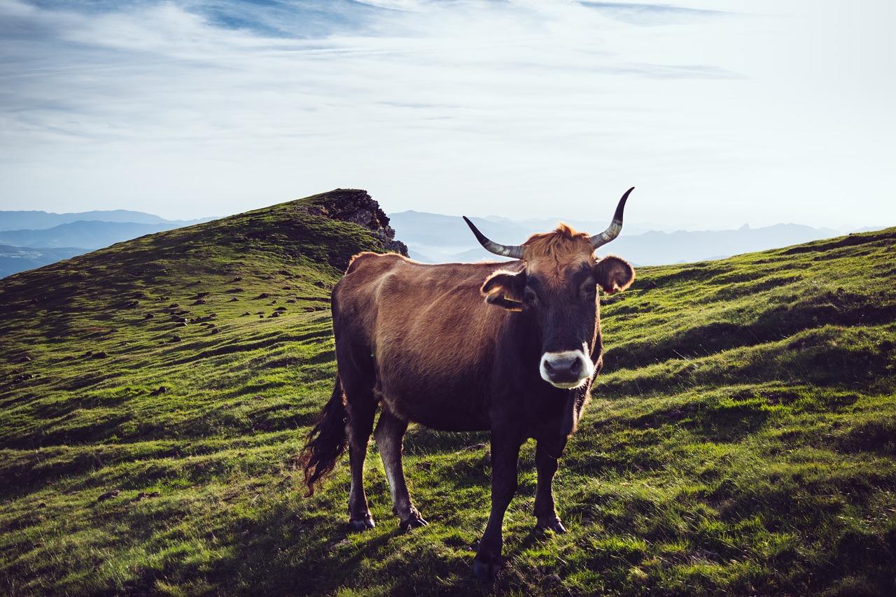 Kuh auf Almwiese