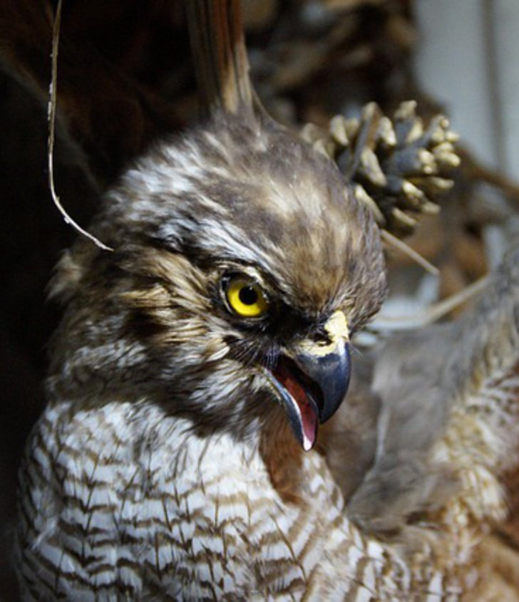 präparierter Greifvogel
