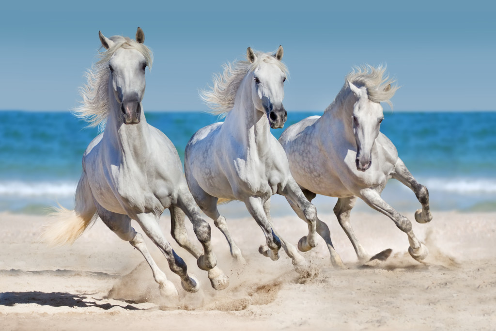 wild white horses running on the beach