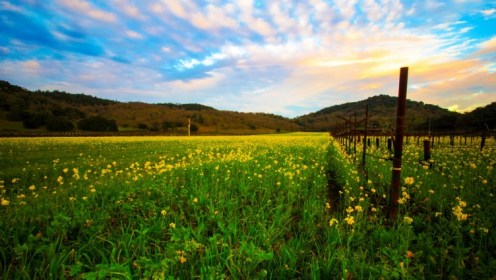 Flower Field in Napa beautiful mustard yellow flowers and green pastures