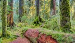 hoh_rainforest_olympic_national_park