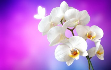 Orchid Flower Background 16